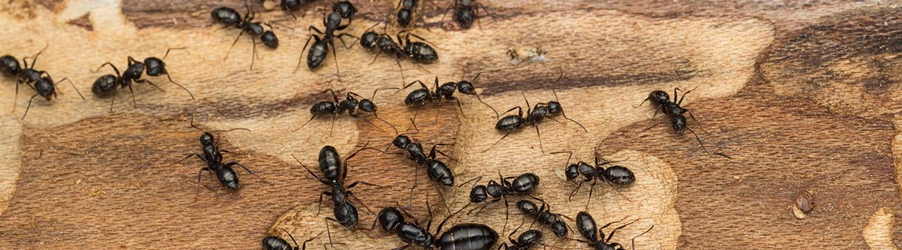 Pests-ants